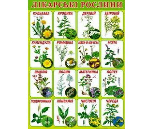 Плакат школьный: Лекарственные растения - Издательство Свiт поздоровлень - ISBN 1330027